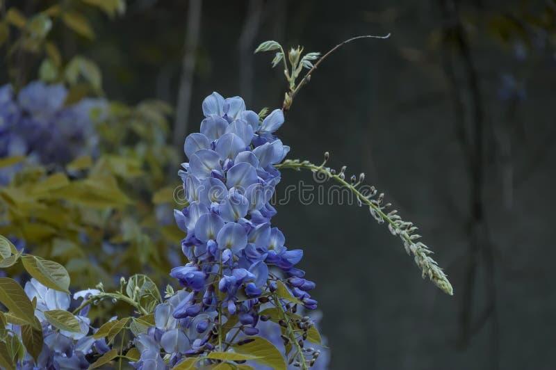 Filialen med grupplilor blommar och bladet av wisteriaträdet på vår i trädgården, Sofia arkivbild