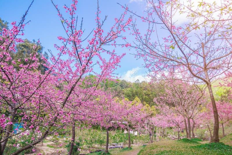 Filialen med rosa sakura blomstrar, Chiang Mai, Thailand arkivfoto