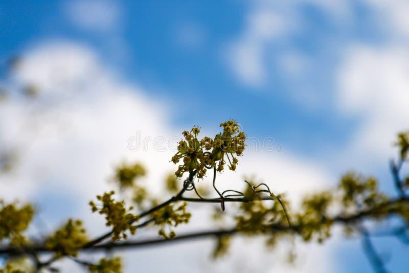 Filialen med sm? blommor fattar busken i tr?dg?rden p? v?r naturlig abstrakt bakgrund arkivbild