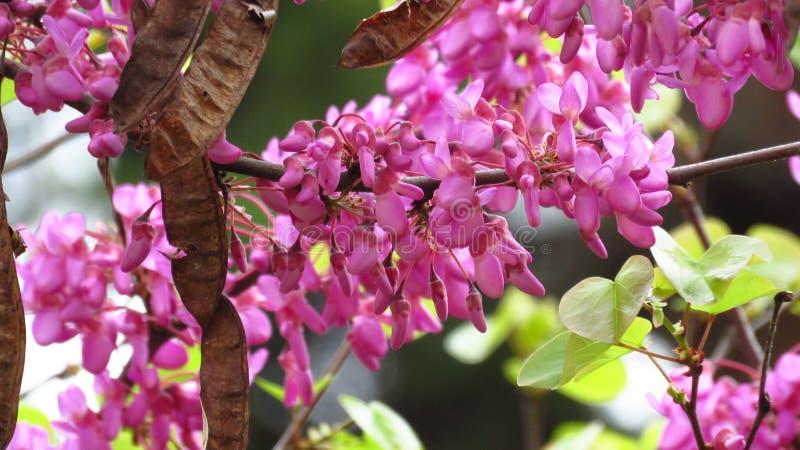 Filialen och Broun för rosa akaciaträd kärnar ur den blommande fröskidor arkivbilder
