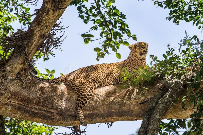 filialen som har dolt den varma leoparden, ligger kupasuntreen royaltyfri bild