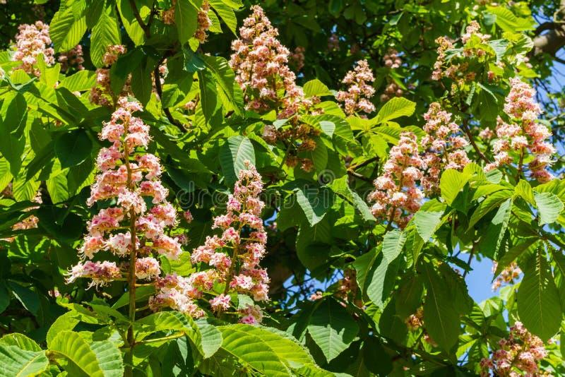 Filialer av att blomma kastanjen Vita kastanjblommor som fotograferas mot bakgrunden av frodiga gröna sidor royaltyfri foto