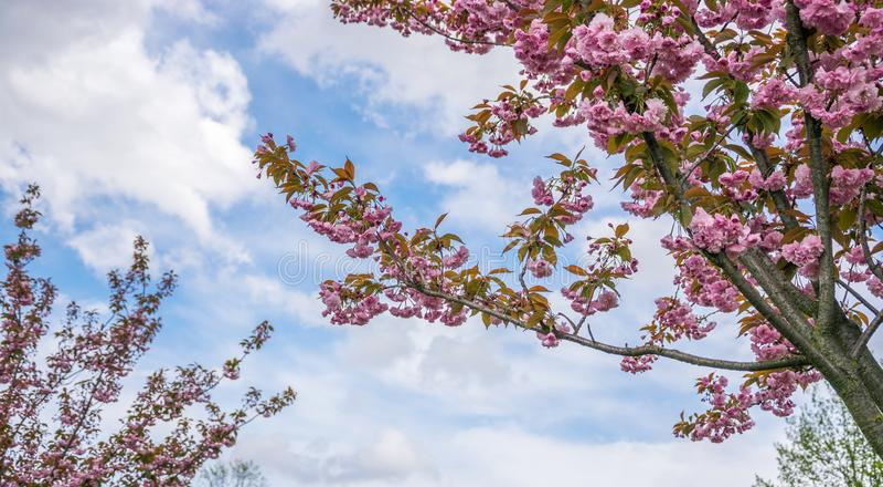 Filialer av att blomstra rosa sakura mot denblått himlen royaltyfri fotografi