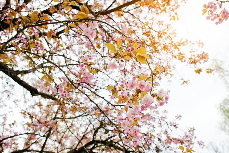Filialer av blomningar för körsbärsrött träd royaltyfri foto