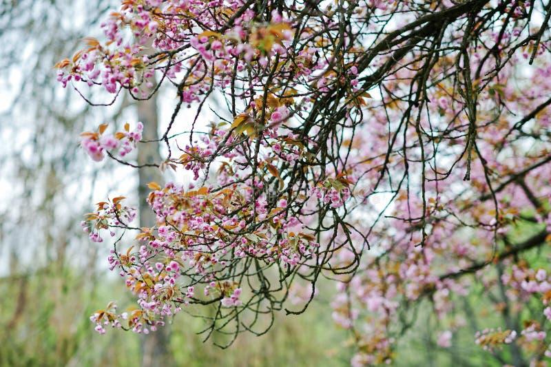 Filialer av blomningar för körsbärsrött träd royaltyfri bild
