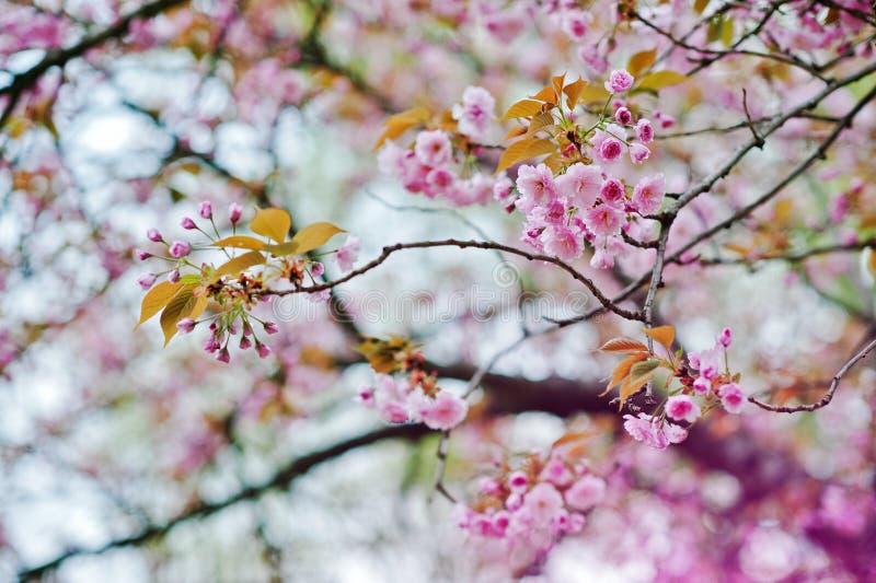 Filialer av blomningar för körsbärsrött träd arkivfoto