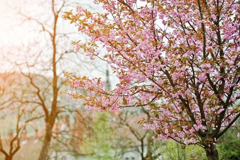 Filialer av blomningar för körsbärsrött träd arkivbilder
