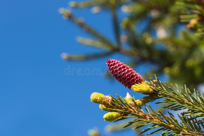 Filialer av blomninggranen med röda kottar i vårskog royaltyfri fotografi
