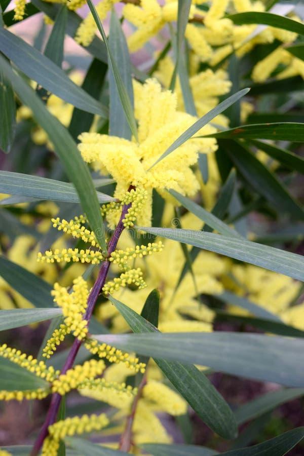 Filialer av blomningmimosalongifoliaen arkivbilder
