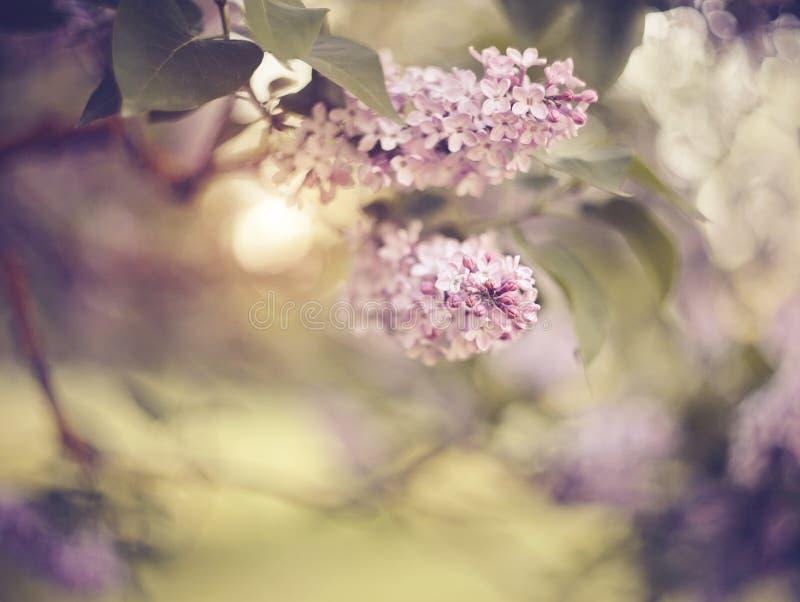 Filialer av buskar av en lila med lila blommor royaltyfri fotografi