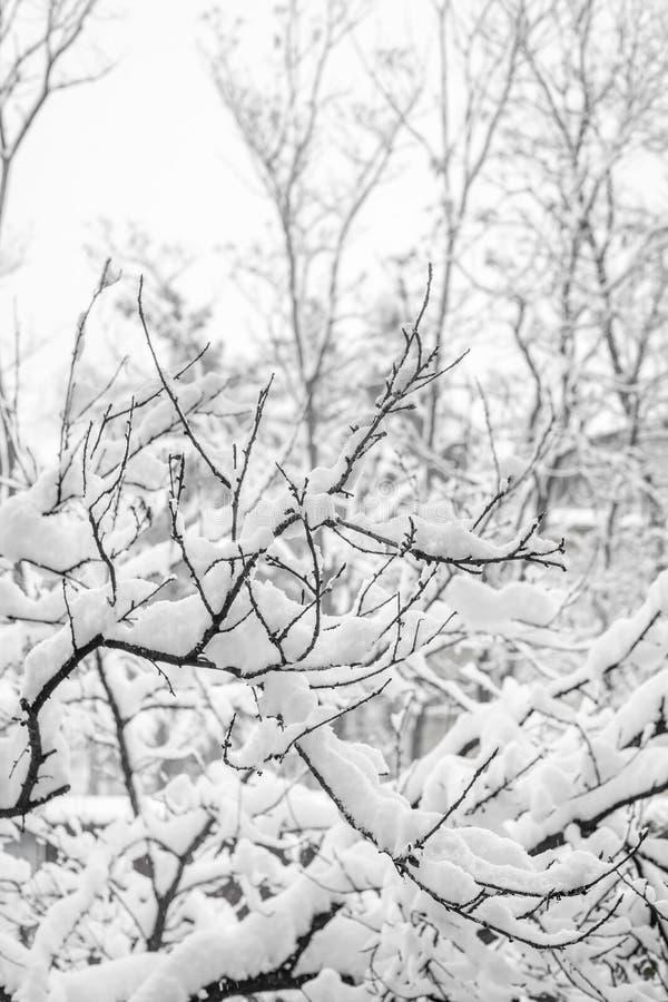 Filialer av buskar i insnöat vintern arkivbild