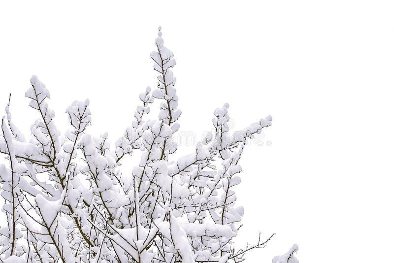 Filialer av buskar i insnöat vintern arkivbilder