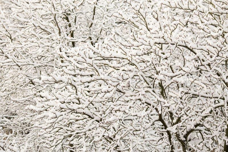 Filialer av buskar i insnöat vintern i molnig snö rider ut royaltyfria bilder
