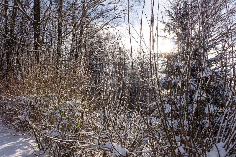 Filialer av buskar i insnöat vintern i molnig snö rider ut royaltyfri fotografi