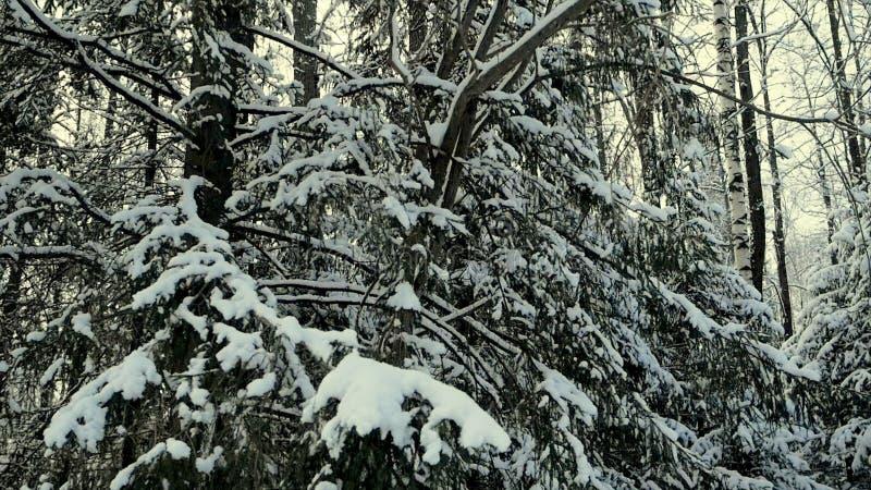 Filialer av buskar i insnöat vintern i molnig snö rider ut gem Filialer i vintern som täckas med snö Snöig björk fotografering för bildbyråer