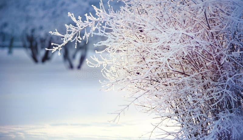 Filialer av buskar i rimfrost och snö, tänds med solen royaltyfria foton
