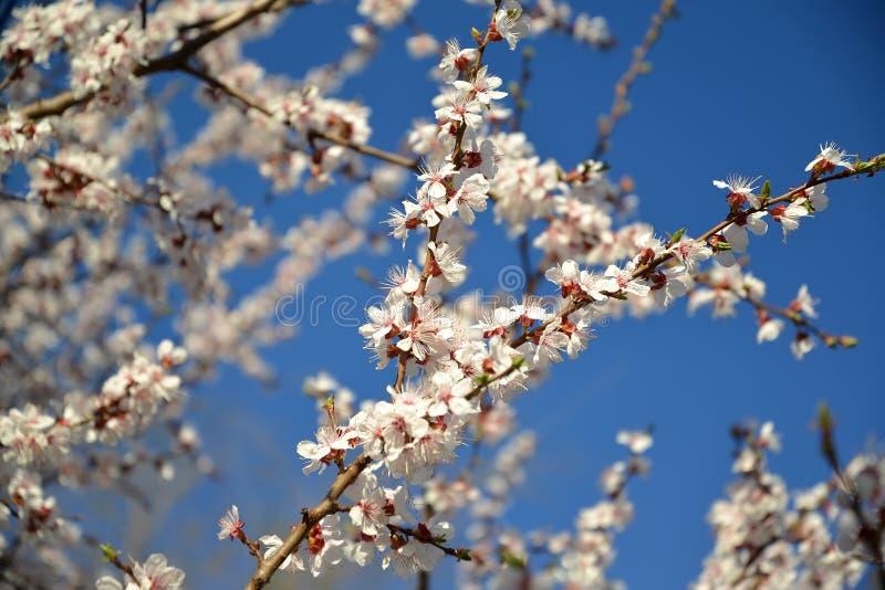 Filialer av den blomstra vanliga Prunusarmeniacaen L för aprikos royaltyfri foto