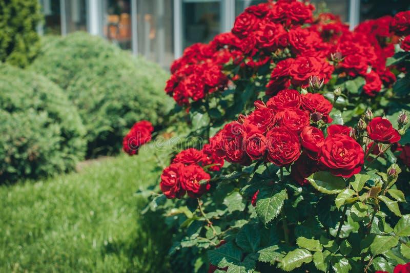 Filialer av den rosa busken genomdränkte rött i sommarmorgonträdgård royaltyfria foton