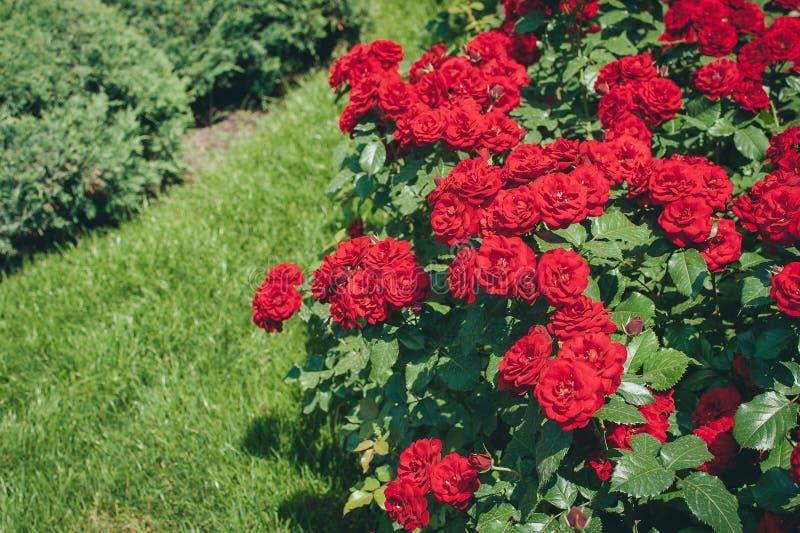 Filialer av den rosa busken genomdränkte rött i sommarmorgonträdgård royaltyfri bild