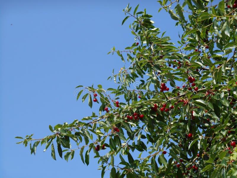 Filialer av det körsbärsröda trädet med mogna röda bärfrukter, blå himmel i bakgrund royaltyfria foton