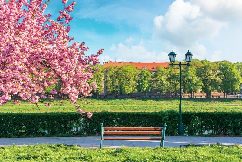 Filialer av det sakura trädet i blomning fotografering för bildbyråer
