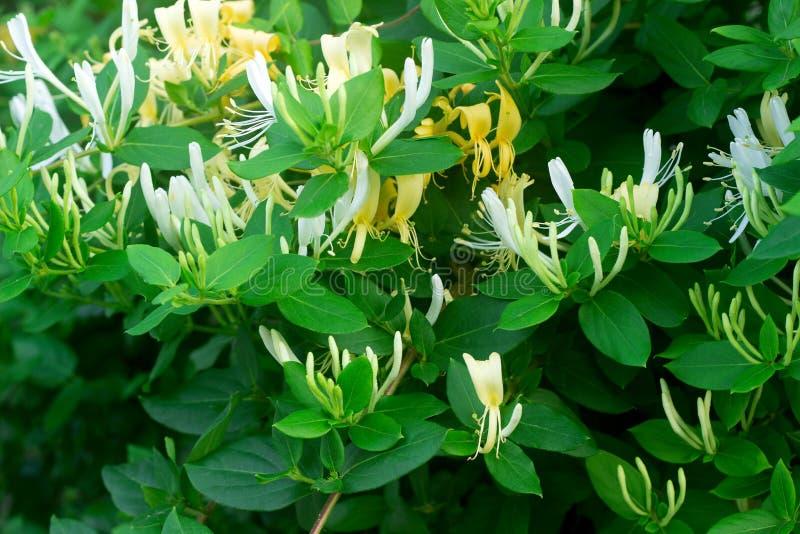 Filialer av en blommande gul vit kaprifol i trädgården fotografering för bildbyråer