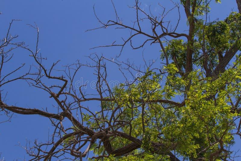 Filialer av ett akaciaträd i himlen arkivfoton