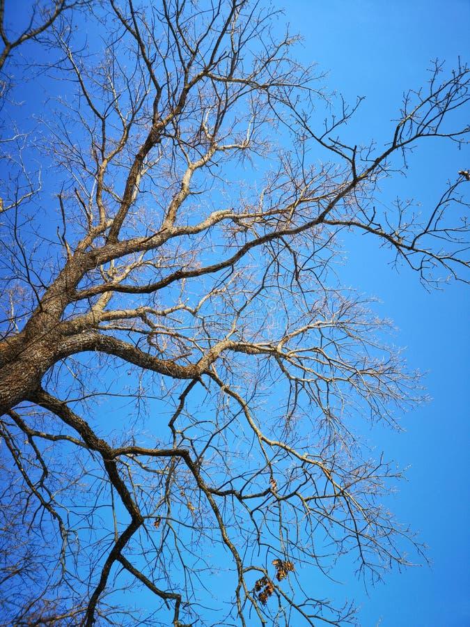 Filialer av ett ekträd utan blad på en blå himmelbakgrund vår Turquoise blue clear sky royaltyfria bilder