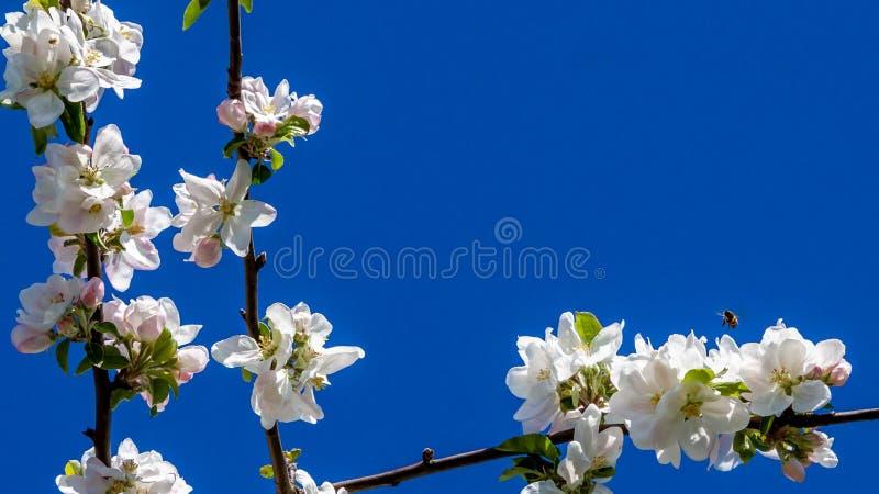 Filialer av ett fruktträd med vita blommor med rosa handlag och ett bi som flyger över en av dem royaltyfri bild
