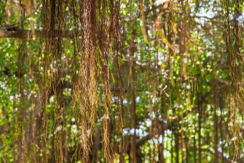 Filialer av ett högväxt gigantiskt banyanträd är spritt brett skapa royaltyfria foton