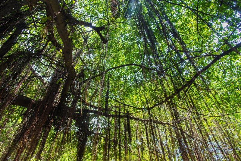 Filialer av ett högväxt gigantiskt banyanträd är spritt brett skapa royaltyfri bild