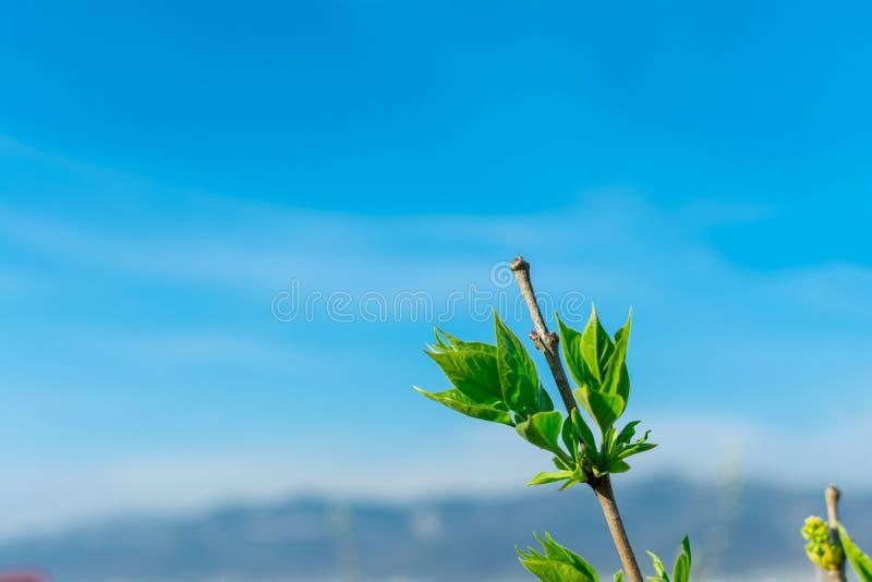 Filialer av ett päronträd med unga gröna sidor mot den blåa himlen i hörnet av ramen, kopieringsutrymme royaltyfri foto