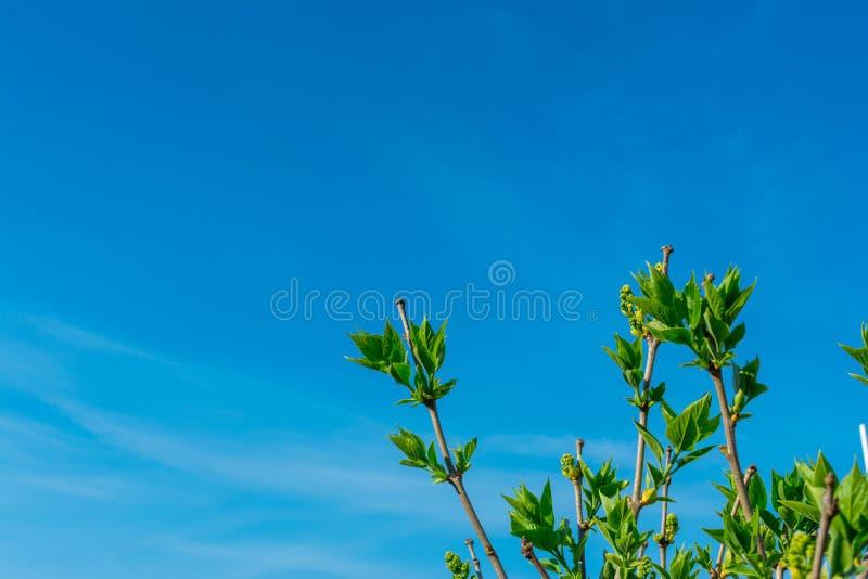 Filialer av ett päronträd med unga gröna sidor mot den blåa himlen i hörnet av ramen, kopieringsutrymme royaltyfria foton