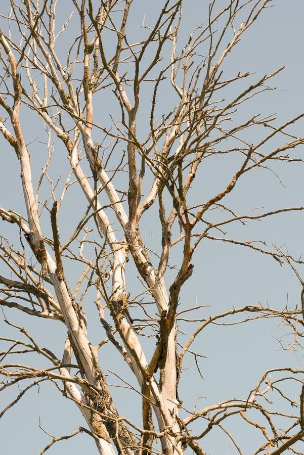 Filialer av ett torrt träd mot himlen i sommar royaltyfri bild