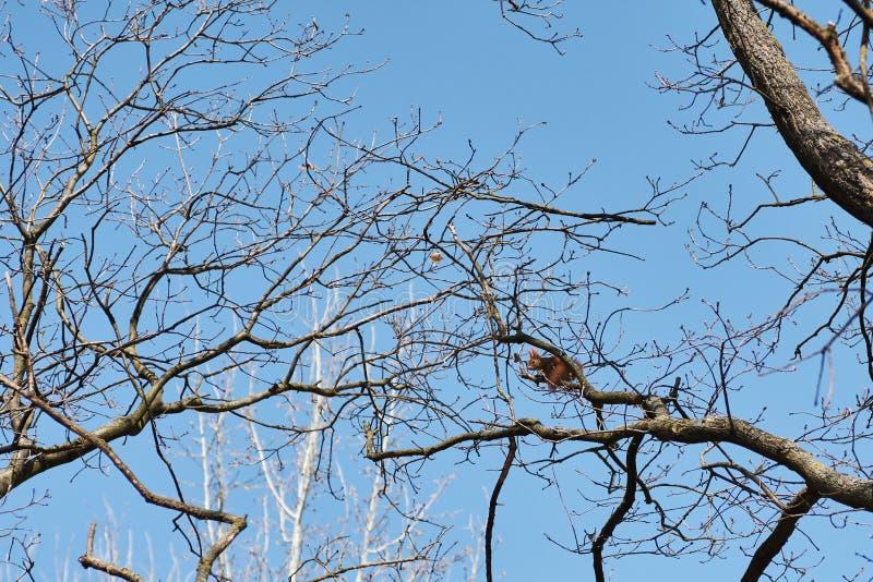Filialer av ett träd med en orange ekorre och en ljus blå himmel arkivbild