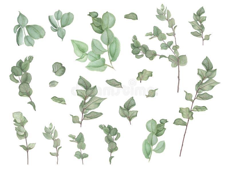 Filialer av eukalyptuns, vattenfärgmålning vektor illustrationer