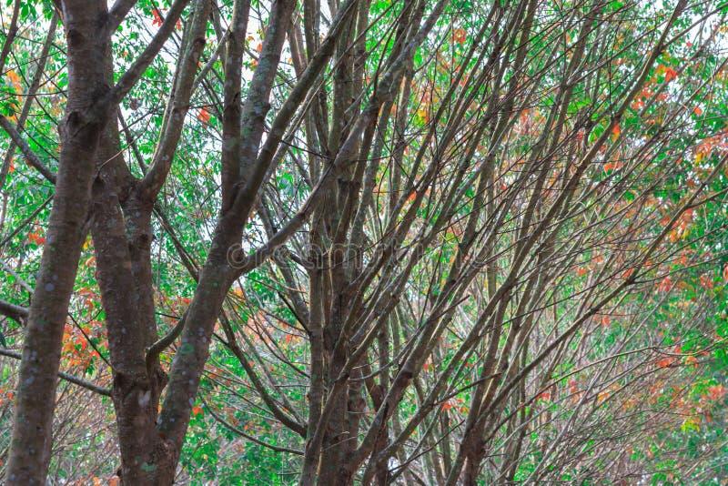 Filialer av gummiträdet i den Rubber kolonin arkivfoto