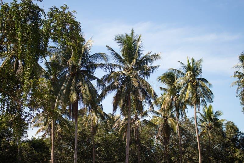 Filialer av kokosnöten gömma i handflatan under blå himmel royaltyfri bild