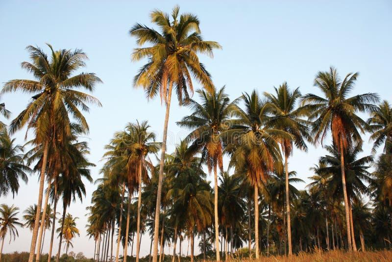 Filialer av kokosnöten gömma i handflatan under blå himmel arkivfoton
