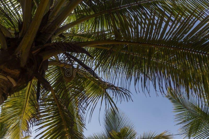 Filialer av kokosnöten gömma i handflatan under blå himmel arkivbild