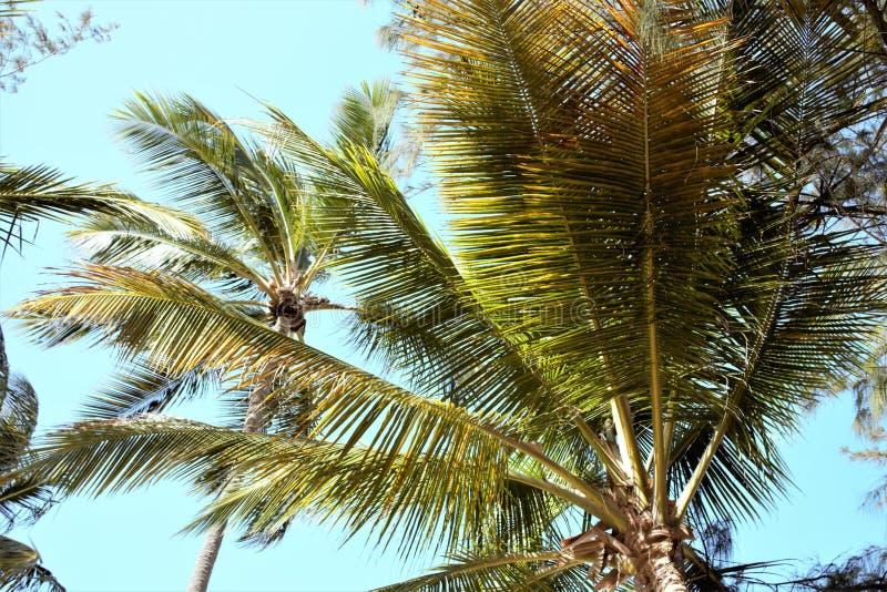 Filialer av kokosn?ten g?mma i handflatan under bl? himmel arkivfoton