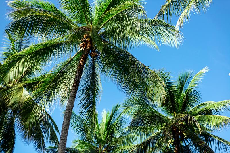 Filialer av kokosn?ten g?mma i handflatan under bl? himmel fotografering för bildbyråer
