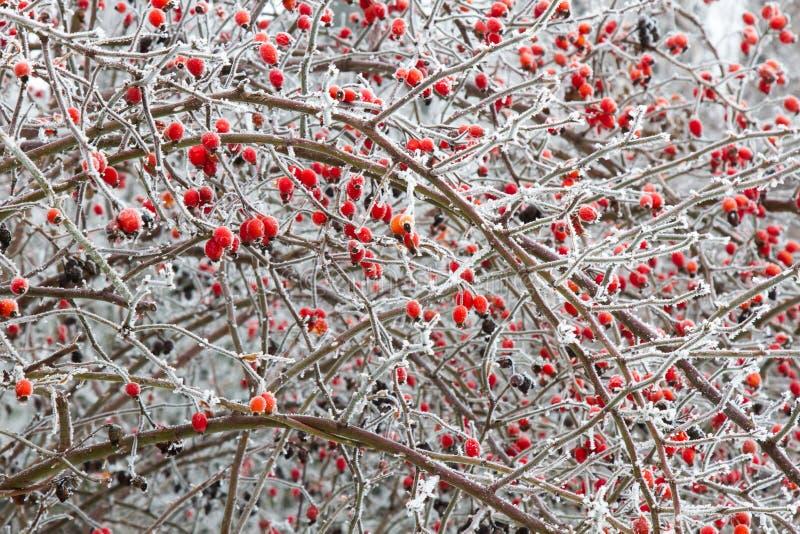 Filialer av lösa rosa höfter med röda bär i is royaltyfria foton
