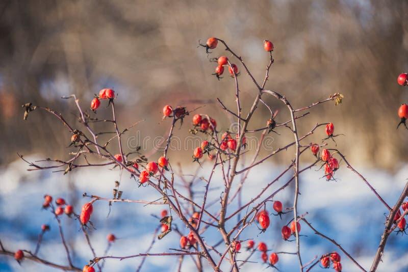 Filialer av lösa rosa höfter med röda bär som täckas med rimfrost i wintergardenen grunt djupfält royaltyfri foto