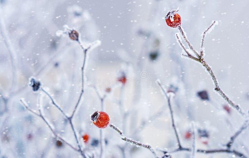 Filialer av lösa rosa höfter med röda bär som täckas med rimfrost i wintergardenen grunt djupfält royaltyfria bilder