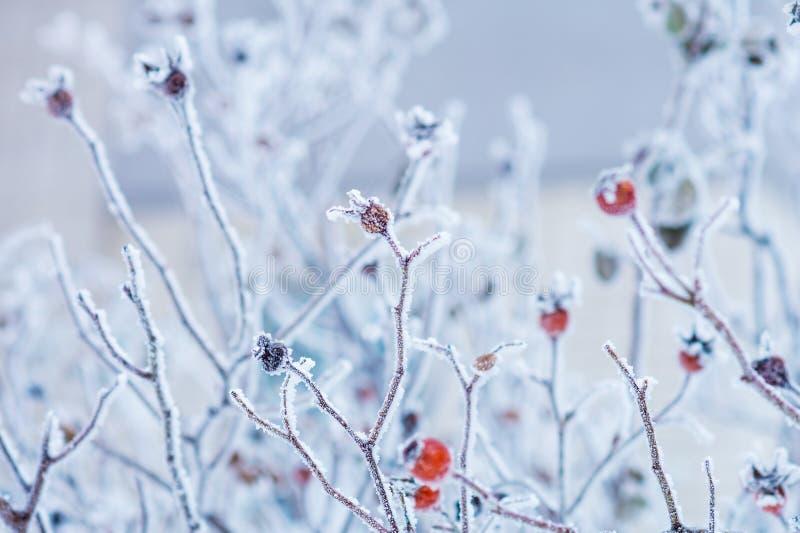 Filialer av lösa rosa höfter med röda bär som täckas med rimfrost i wintergardenen grunt djupfält arkivfoto