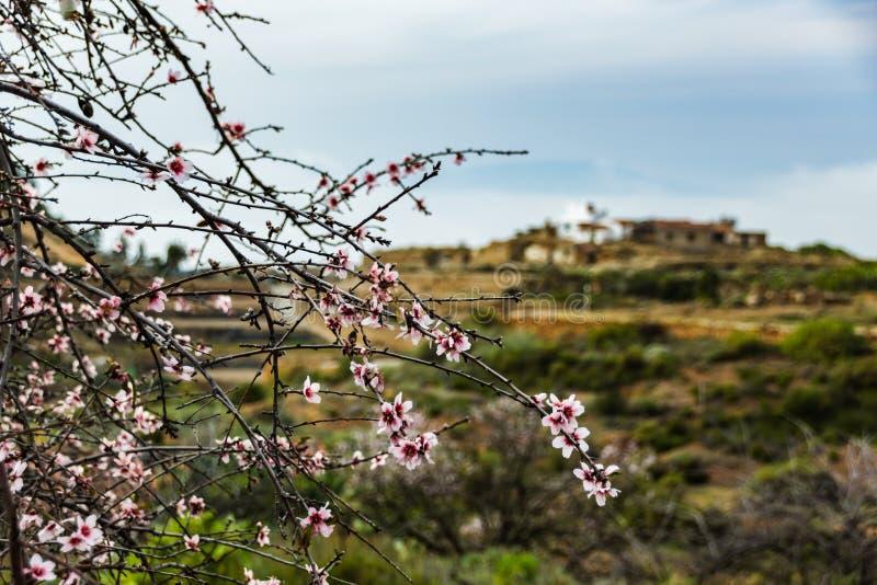 Filialer av mandelträdet som växer lösa på Tenerife som täckas i rosa blommor Slut upp selektiv fokus Tidig vår på ett soligt arkivfoto