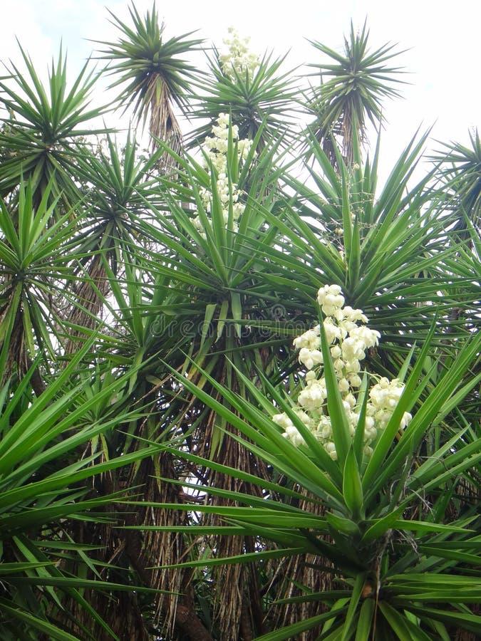 Filialer av palmliljaväxten arkivfoto