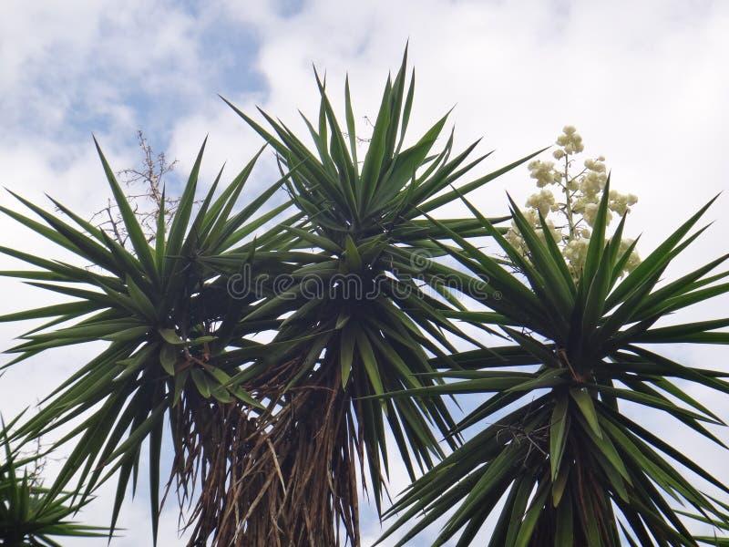 Filialer av palmliljaväxten royaltyfria bilder