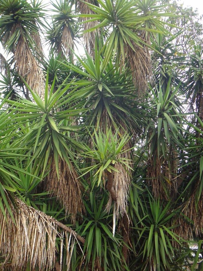 Filialer av palmliljaväxten royaltyfri foto
